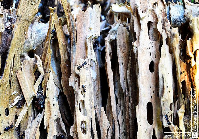 lebensraum totholz holzwurmerg228nge und schwarze ameisen