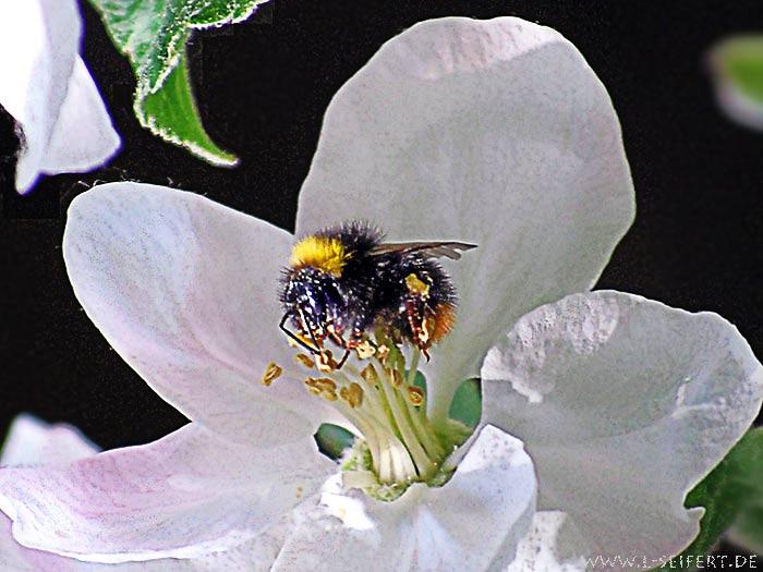 re langhornbiene ist tier des jahres 2010 das wildbienenforum. Black Bedroom Furniture Sets. Home Design Ideas