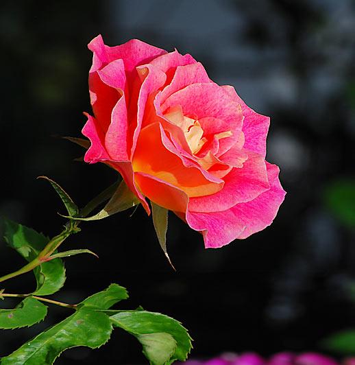 rosen werden seit der antike als k nigin der blumen bezeichnet rosen werden seit 2000 jahren. Black Bedroom Furniture Sets. Home Design Ideas