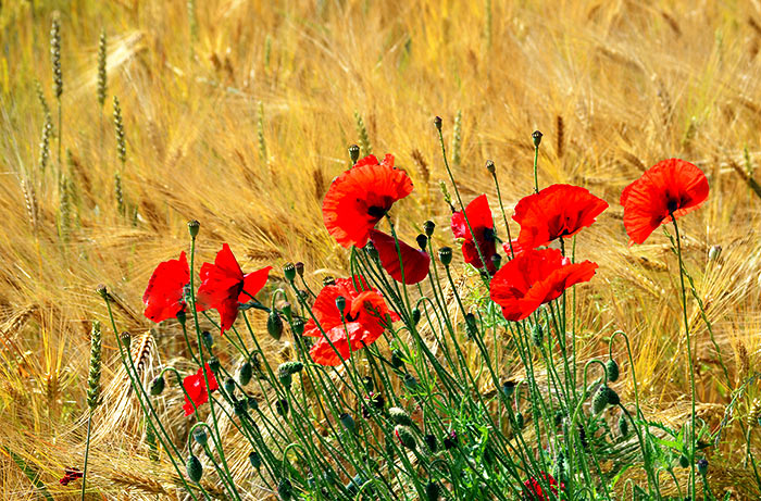 Greeting card Roter Mohn