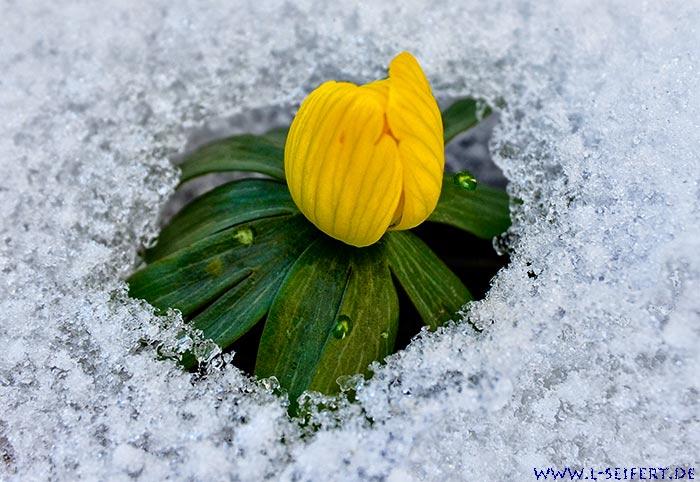 winterlinge im schnee die gelben fr hlingsblumen stecken ihre knospen durch den schnee. Black Bedroom Furniture Sets. Home Design Ideas