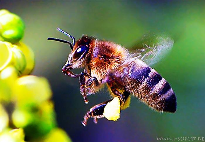 biene beim nektar sammeln honigbiene arbeiterin insekten bilder kostenlos. Black Bedroom Furniture Sets. Home Design Ideas