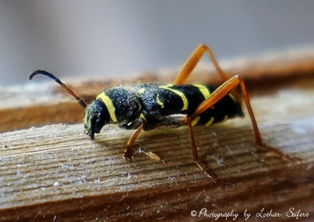 echter widderbock die insekten sehen aus wie wespen insekten bilder kostenlos. Black Bedroom Furniture Sets. Home Design Ideas