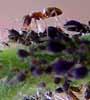 bilder von insekten marienk fer wildbienen fliegen und. Black Bedroom Furniture Sets. Home Design Ideas