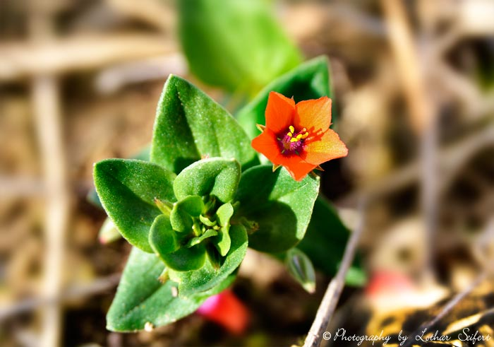 Ackerunkraut eine kleine rote bl te auf dem stoppelacker for Bilder pflanzen