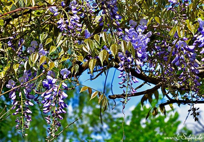 glyzinie ist als blauregen wisteria bekannt und bringt eine sch ne bl tenpracht hervor bilder. Black Bedroom Furniture Sets. Home Design Ideas