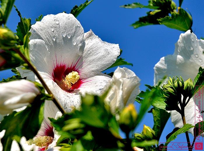 hibiskus rosen eibisch mit wundersch nen bl ten geh rt zu den malven bilder und gru karten. Black Bedroom Furniture Sets. Home Design Ideas