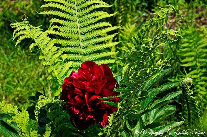 pumpelrose pfingstrose mit roter bl te und farn bilder und gru karten fotos von pflanzen. Black Bedroom Furniture Sets. Home Design Ideas
