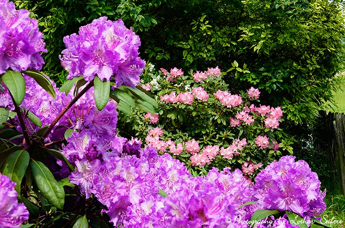 Greeting card Rhododendren eCards