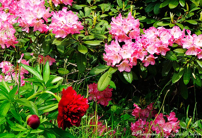 Greeting card Rhododendron