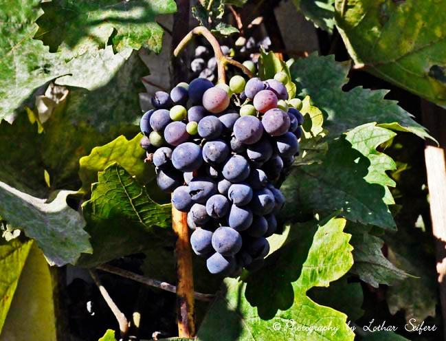 Bilder Blaue Weintrauben ~ Weintraube, hier blaue Weintrauben, sind gesund und reich an Vitaminen