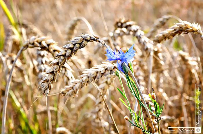 Weizen berreife weizen hren kurz vor der ernte bilder for Bilder pflanzen