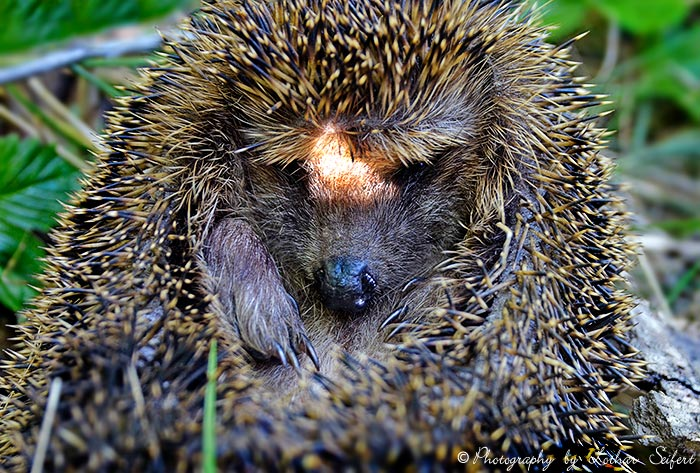 Greeting card Igel Gesicht