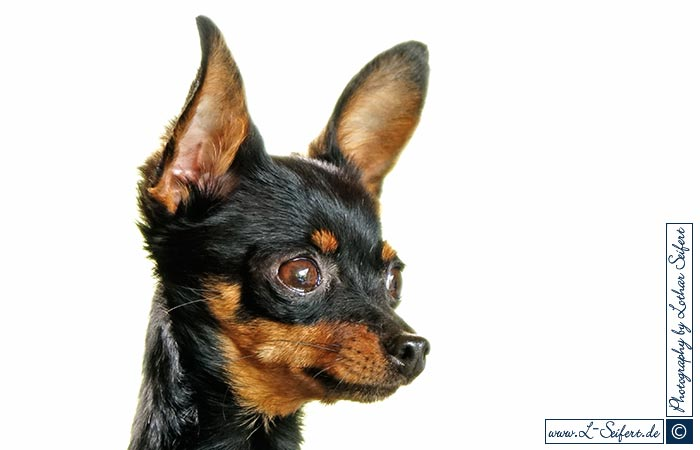 Greeting card Russischer Toy Terrier
