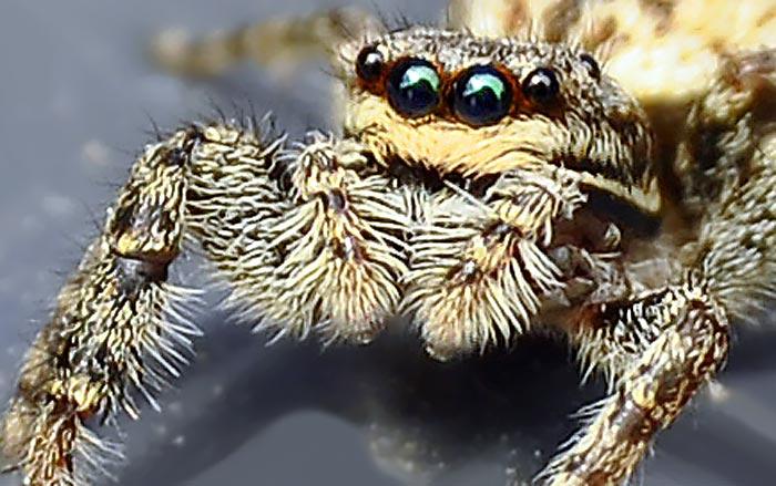 Spinnen Augenzahl