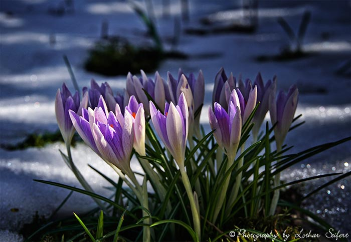 Greeting card Crocus