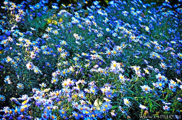 blaue herbstblumen diese astern bl hen bis der frost der bl te ein ende bereitet blumenbilder. Black Bedroom Furniture Sets. Home Design Ideas