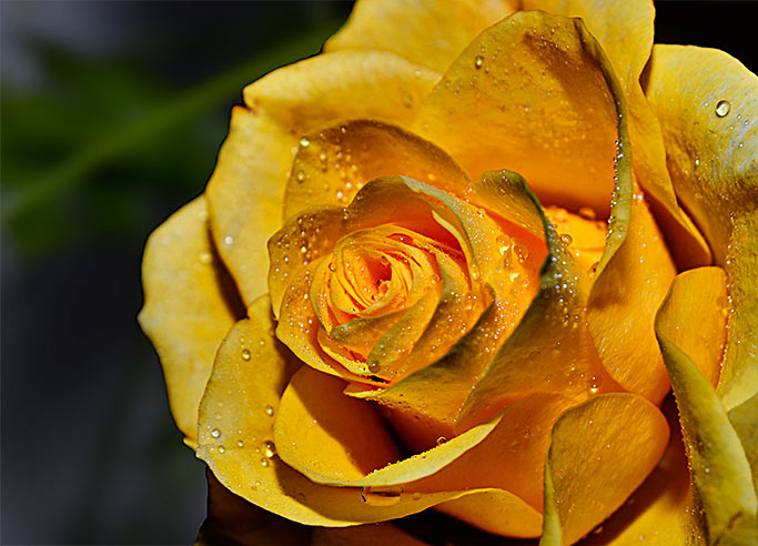 Greeting card Yellow Rose, all the best, health and happiness with a rose blossom.