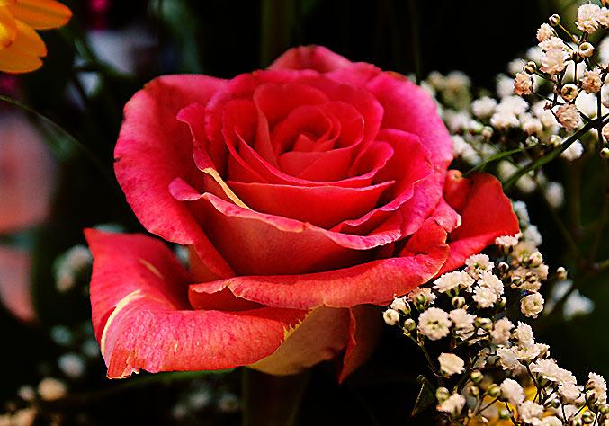 eine rote rose ist ein herzliches symbol f r die liebe blumenbilder. Black Bedroom Furniture Sets. Home Design Ideas