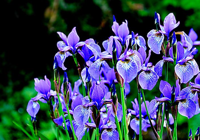 schwertlilien sind nach iris benannt der griechischen g ttin des regenbogens blumenbilder. Black Bedroom Furniture Sets. Home Design Ideas