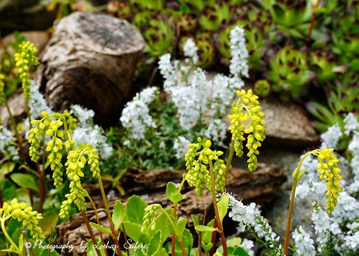 steingartenpflanzen blümchen mit gelben blüten. blumenbilder,