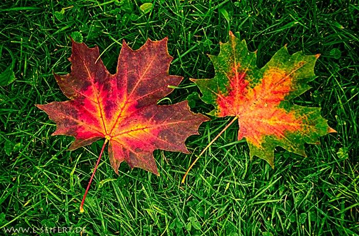 Ahornblaetter Kostenlose Herbstbilder