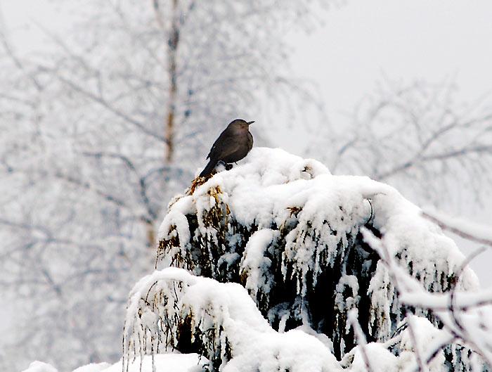 Eine Amsel In Einem Verschneiten Garten Im Winter Winterfotos